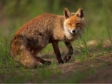 Red Fox wild Vulpes vulpes