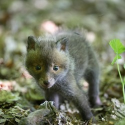 Red Foxbaby fluffy