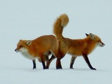 Red Foxs mating