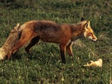 Red Foxx Vulpes vulpes prey