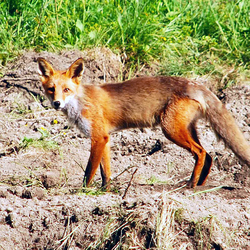 Skinny Red Fox (Vulpes vulpes) foxx