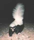 Skunk Photo Gallery