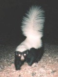 Skunk Hognosed skunk Mephitidae Mofeta