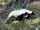 Skunk Hooded Skunk (Gelsenkirchen) Mephitidae Mofeta