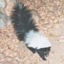 Skunk Hooded skunk Mephitidae Mofeta