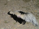 Skunk Striped Skunk Mephitidae Mofeta (2)