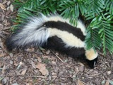 Skunk Striped skunk Florida Mephitidae Mofeta
