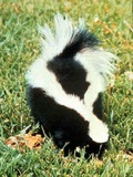 Skunk Striped skunk Mephitidae Mofeta