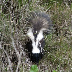 Skunk Striped skunk Pepe Mephitidae Mofeta