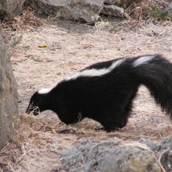 Skunk Striped_Skunk  Mephitidae Mofeta