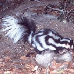 Spotted Skunk Spilogale gracilis Mephitidae Mofeta