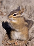 Chipmunk Squirrel  Chipmunk Tamias Ardilla (2)