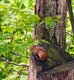 Chipmunk Photo Gallery