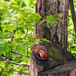 Chipmunk Squirrel  Glen State Park Chipmunk Tamias Ardilla
