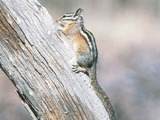 Chipmunk Squirrel  chipmunk Tamias Ardilla (3)