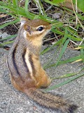 Chipmunk Squirrel Chipmunk-Tamias Tamias Ardilla