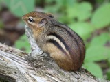 Chipmunk Squirrel Chipmunk_001 Tamias Ardilla