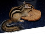 Chipmunk Squirrel Chipmunk_bread Tamias Ardilla