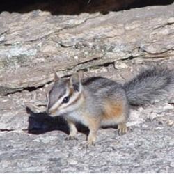 Chipmunk Squirrel Cliff chipmunk Tamias Ardilla