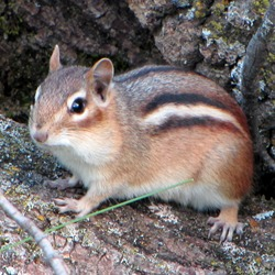 Chipmunk Squirrel Eastern Chipmunk,_Gatineau_Park Tamias Ardilla