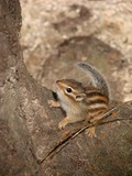 Chipmunk Squirrel Siberian chipmunk Korea Tamias Ardilla