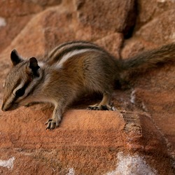Chipmunk Squirrel Squirrel Zion Tamias Ardilla