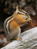 Chipmunk Squirrel Tamias minimus Tamias Ardilla
