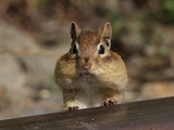 Chipmunk Squirrel Tamias striatus  Tamias Ardilla