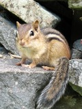 Chipmunk Squirrel Tamias striatus3 Tamias Ardilla