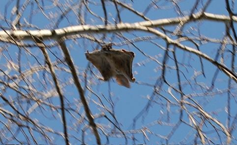 Flying Squirrel   Pteromyini Ardilla