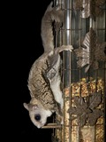 Flying Squirrel Flying_Squirrel Pteromyini Ardilla