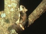 Flying Squirrel Glaucomys sabrinus Pteromyini Ardilla