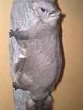 Flying Squirrel Hylopetes nigripes Pteromyini Ardilla