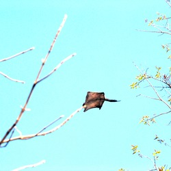 Flying Squirrel Pratik gujarat Pteromyini Ardilla