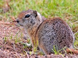 Ground Squirrel  Ground Squirrel (Oregon) Sciuridae Ardilla