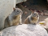 Ground Squirrel  Ground_Squirrel pair Sciuridae Ardilla
