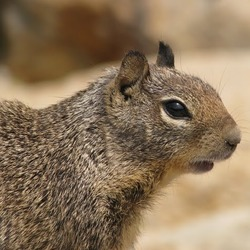 Ground Squirrel  face Sciuridae Ardilla