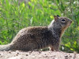Ground Squirrel CA Ground Squirrel Sciuridae Ardilla