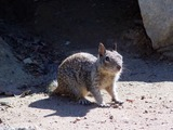 Ground Squirrel CA ground_squirrel_(2) Sciuridae Ardilla