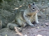 Ground Squirrel CA_Ground_Squirr burrow Sciuridae Ardilla