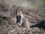 Ground Squirrel California_Ground_Squirrel  burrow Sciuridae Ardilla