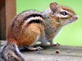 Ground Squirrel Eastern Chipmunk  Sciuridae Ardilla