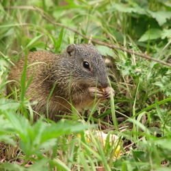 Ground Squirrel Franklin Ground_Squirrel Sciuridae Ardilla