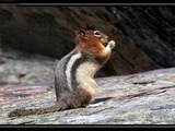 Ground Squirrel Golden mantled Ground Squirrel Sciuridae Ardilla