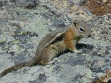 Ground Squirrel Golden mantled Ground_Squirrel Sciuridae Ardilla