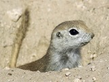 Ground Squirrel Ground Squirrel Sciuridae Ardilla