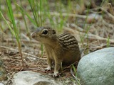 Ground Squirrel Ground squirrel Sciuridae Ardilla (2)