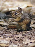 Ground Squirrel Least Chipmunk  Sciuridae Ardilla
