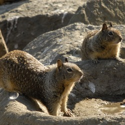 Ground Squirrel Pair California Ground_Squirrels Sciuridae Ardilla
