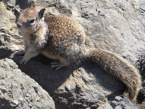 Ground Squirrel Sea squirrel Sciuridae Ardilla
